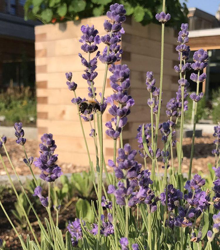 2da1af2b84f Der Lavendel (Lavandula angustifolia)